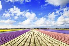 Campos florais na Holanda imagens de stock royalty free