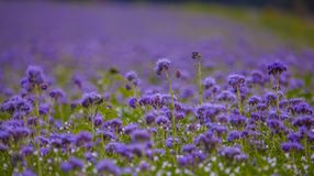 Campos florecientes de la naturaleza de la violeta del campo de flores de Phacelia Imagen de archivo