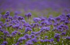 Campos florecientes de la naturaleza de la violeta del campo de flores de Phacelia Fotos de archivo