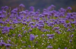 Campos florecientes de la naturaleza de la violeta del campo de flores de Phacelia Imágenes de archivo libres de regalías
