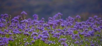 Campos florecientes de la naturaleza de la violeta del campo de flores de Phacelia Fotografía de archivo libre de regalías