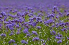 Campos florecientes de la naturaleza de la violeta del campo de flores de Phacelia Imagen de archivo libre de regalías