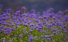 Campos florecientes de la naturaleza de la violeta del campo de flores de Phacelia Foto de archivo libre de regalías