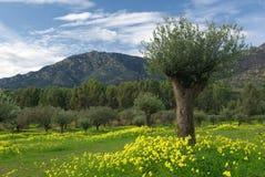 Campos florescidos, árvores de azeitona e montanhas Foto de Stock Royalty Free