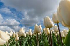 Campos holandeses del bulbo con los tulipanes famosos Foto de archivo libre de regalías