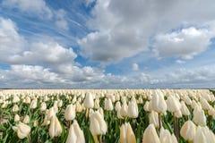 Campos holandeses del bulbo con los tulipanes famosos Fotos de archivo