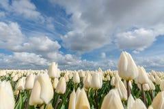 Campos holandeses del bulbo con los tulipanes famosos Fotografía de archivo libre de regalías