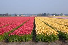 Campos holandeses del tulipán Fotografía de archivo