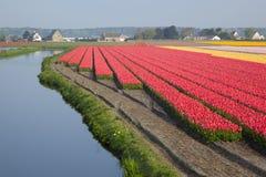 Campos holandeses do Tulip fotografia de stock