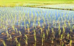 Campos jovenes del arroz fotografía de archivo libre de regalías