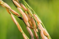 Campos macros del arroz Fotos de archivo libres de regalías