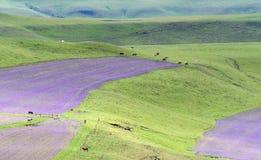 Campos púrpuras en el campo Imagenes de archivo