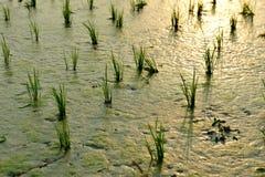 Campos quebradizos del arroz Imágenes de archivo libres de regalías