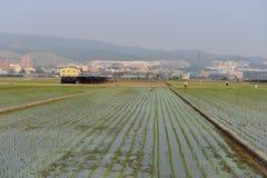 Campos quebradizos del arroz Fotos de archivo libres de regalías