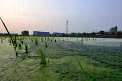 Campos quebradizos del arroz Imagenes de archivo