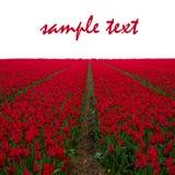 Campos rojos holandeses del tulipán Imagen de archivo libre de regalías