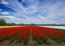Campos rojos holandeses del tulipán Foto de archivo libre de regalías