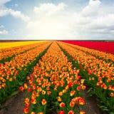 Campos rojos holandeses del tulipán Foto de archivo