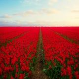 Campos rojos holandeses del tulipán Imágenes de archivo libres de regalías