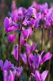 Campos roxos Fotos de Stock