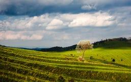 Campos Terraced com árvore Imagens de Stock Royalty Free