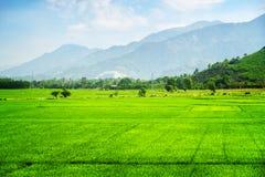 Campos verdes claros asombrosos del arroz en verano Imagen de archivo
