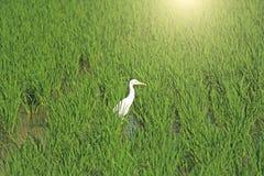 Campos verdes claros del arroz y pájaro blanco de la garza en Hampi La Florida verde Fotos de archivo