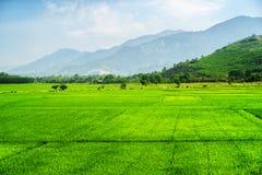 Campos verdes claros escénicos del arroz en verano Imagen de archivo