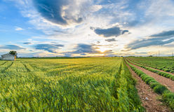Campos verdes da alfazema Foto de Stock Royalty Free