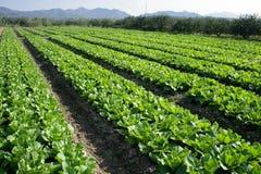 Campos verdes das hortaliças Foto de Stock