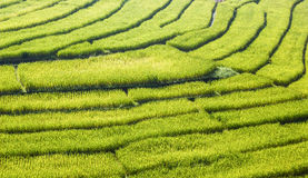 Campos verdes del arroz Foto de archivo libre de regalías