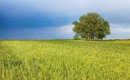 Campos verdes del trigo joven en una primavera imágenes de archivo libres de regalías