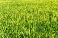 Campos verdes do arroz Fotos de Stock Royalty Free