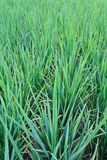 Campos verdes do arroz Imagem de Stock Royalty Free