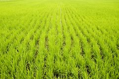 Campos verdes do arroz Foto de Stock Royalty Free