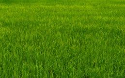 Campos verdes do arroz Fotografia de Stock