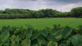 Campos verdes do arroz após a chuva fotos de stock