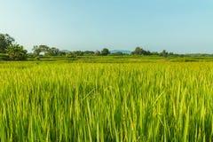 Campos verdes do arroz da paisagem fotografia de stock royalty free