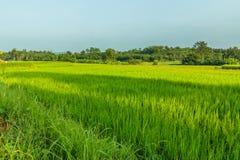Campos verdes do arroz da paisagem imagem de stock royalty free