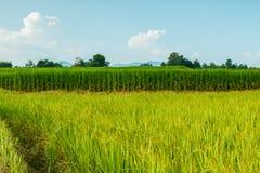 Campos verdes do arroz da paisagem foto de stock