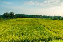Campos verdes do arroz da paisagem na noite foto de stock royalty free