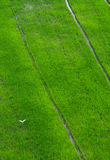 Campos verdes do arroz em Kanchanaburi, Tailândia Imagens de Stock Royalty Free