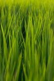 Campos verdes do arroz na manhã Fotografia de Stock