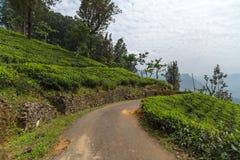 Campos verdes do verde da folha de chá Fotografia de Stock