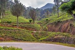 Campos verdes do verde da folha de chá Fotografia de Stock Royalty Free