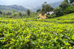 Campos verdes do verde da folha de chá Fotos de Stock Royalty Free