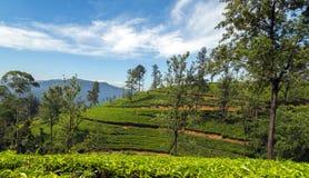 Campos verdes do verde da folha de chá Imagem de Stock Royalty Free