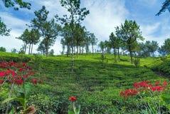 Campos verdes do verde da folha de chá Foto de Stock Royalty Free