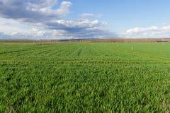 Campos verdes dos cereais com irrigação pelo sistema de sistema de extinção de incêndios Foto de Stock