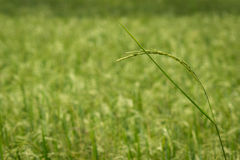 Campos verdes enormes del arroz Imagen de archivo libre de regalías
